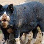 7545 Порода свиней Беркшир