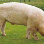 7550 Порода свиней Литовська Біла