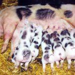 7886 Порода свиней П'єтрен