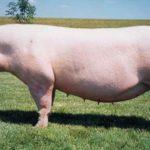 7893 Порода свиней Естонська беконна