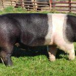 7900 Порода свиней Гемпшир