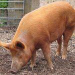 8048 Порода свиней Темворс