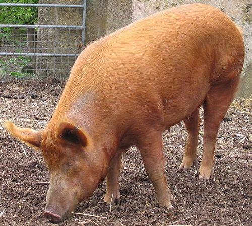 Порода свиней Темворс