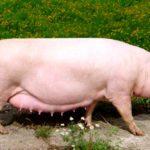 8053 Порода свиней Уржумська