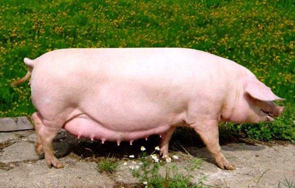 Порода свиней Уржумська