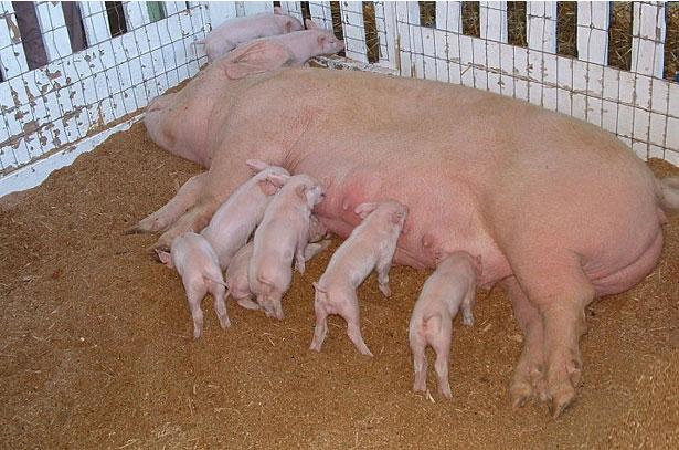 8057 Порода свиней велика біла