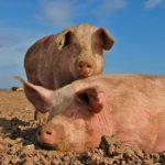 8059 Порода свиней Українська Степова Біла
