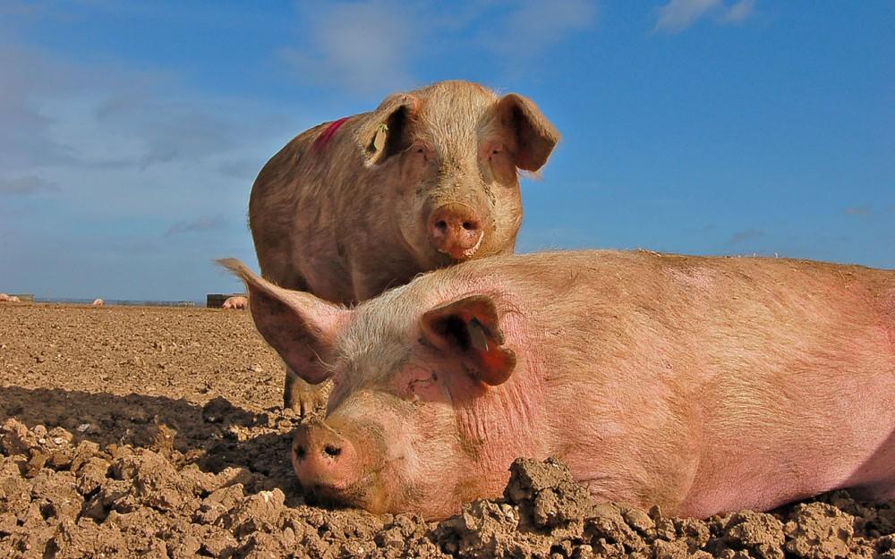 Порода свиней Українська Степова Біла