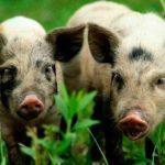 8065 Порода свиней Українська Степова Ряба