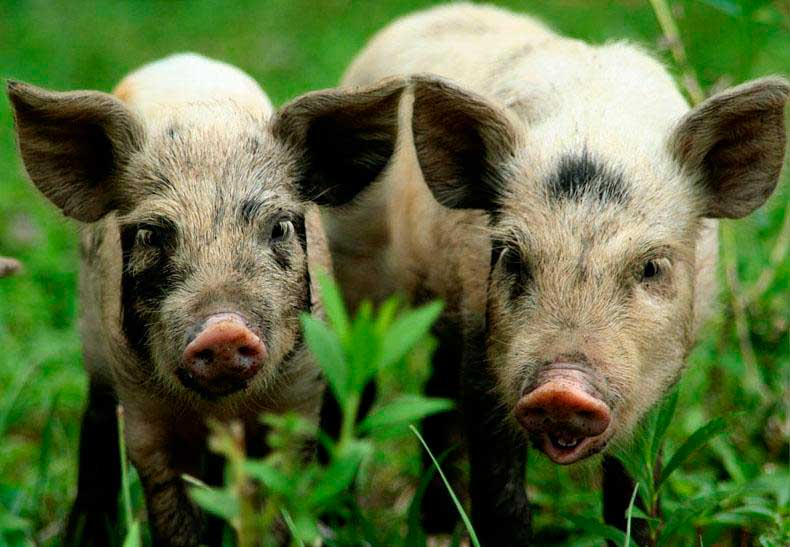 Порода свиней Українська Степова Ряба