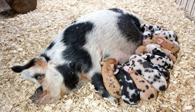 Порода свиней Північнокавказька
