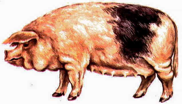 8283 Порода свиней Ливенська