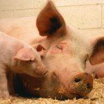 8318 Порода свиней Муромська