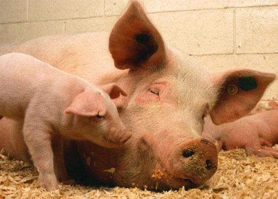 Порода свиней Муромська