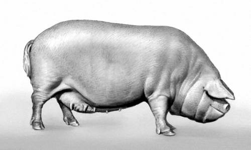 8321 Порода свиней Брейтовська