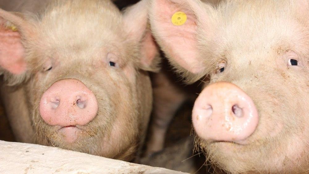 Порода свиней Сибірська Північна