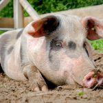8328 Порода свиней Миргородська