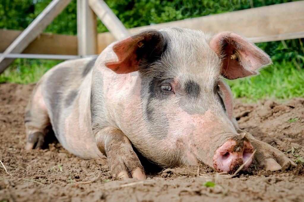 Порода свиней Миргородська