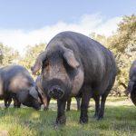 8335 Порода свиней Велика Чорна