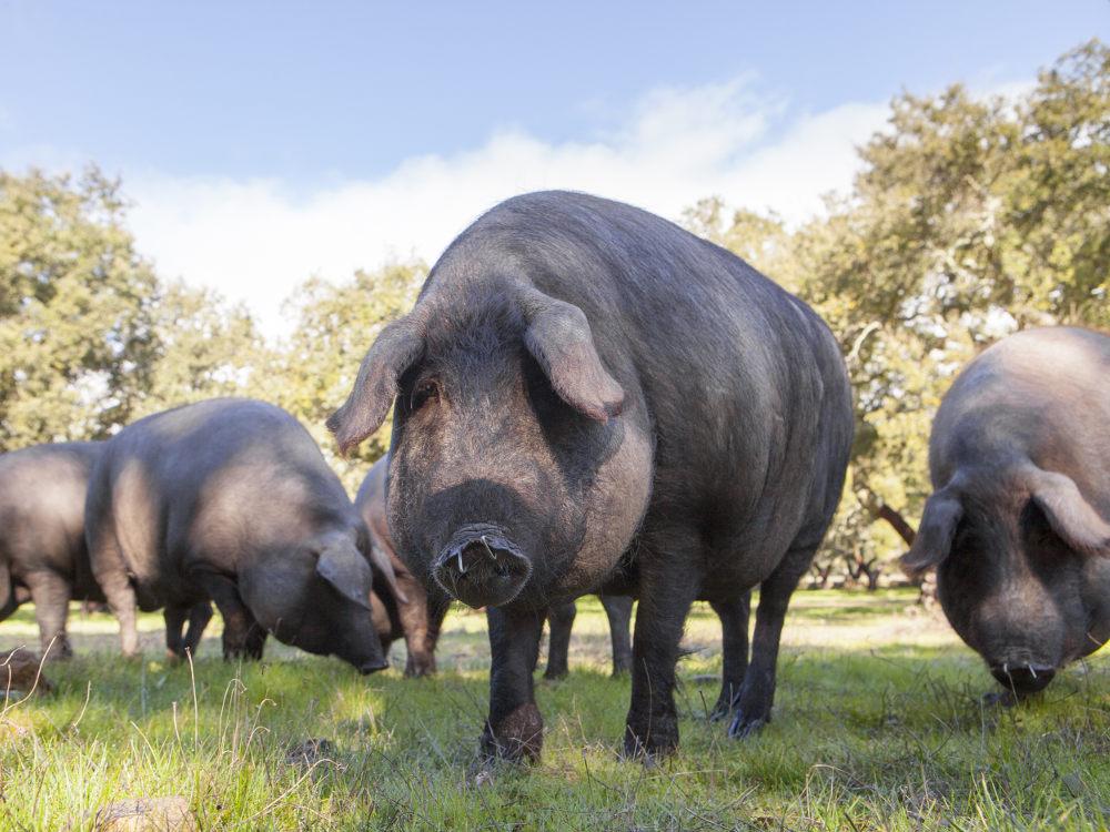 Порода свиней Велика Чорна