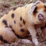 8339 Порода свиней Оксфорд Сенді і Блекс
