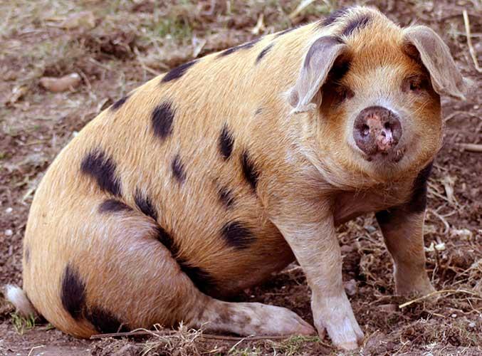 Порода свиней Оксфорд Сенді і Блекс