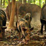 8350 Порода свиней Острова Оссабо