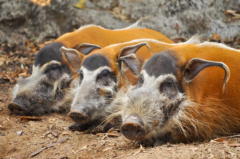 Порода свиней Кістеуха