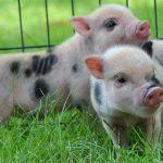 8392 Порода свиней Юліанська