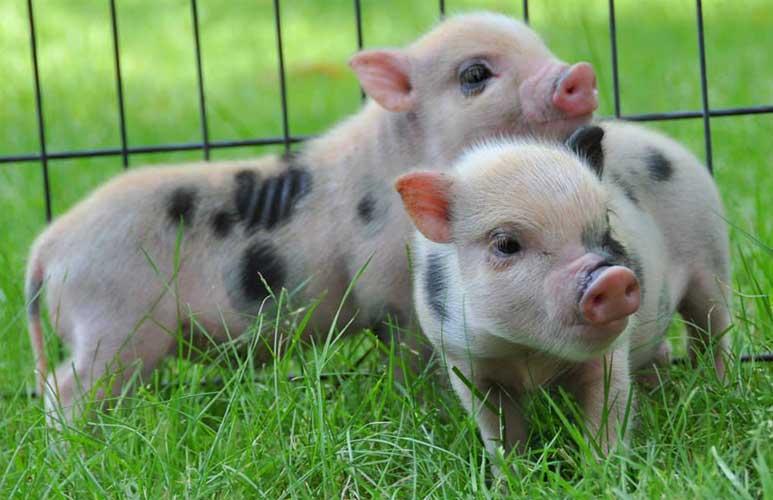 Порода свиней Юліанська
