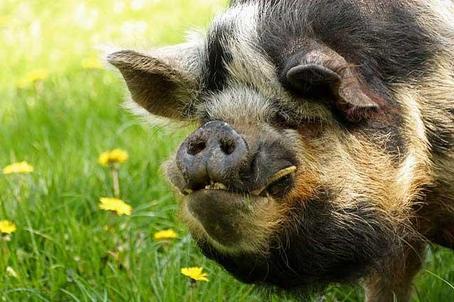 8398 Порода свиней Кун кун