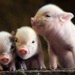 8401 Порода свиней Міні сібси і Мікро сібси