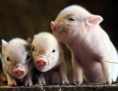 Порода свиней Міні сібси і Мікро сібси