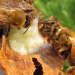 8433 Бджолиний корм: випадки підгодівлі бджіл, різні рецепти
