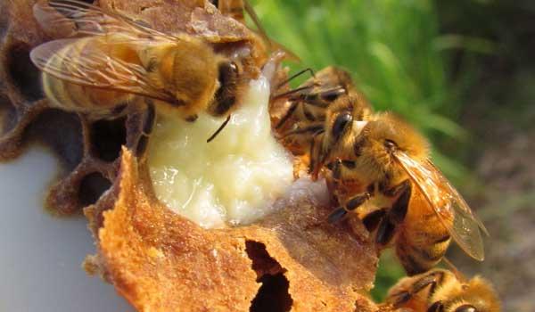 Бджолиний корм: випадки підгодівлі бджіл, різні рецепти