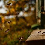 8448 Як припинити роїння бджіл: протиройові методи в бджільництві