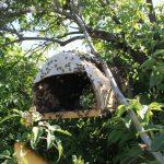 8455 Ознаки роїння бджіл, різновиди і вихід бджолиного рою