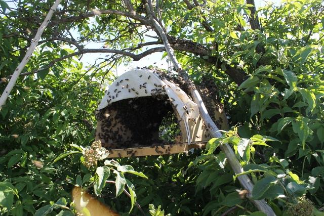 Ознаки роїння бджіл, різновиди і вихід бджолиного рою