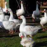 8468 Гуси породи Угорська біла