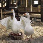8514 Коли гуси сідають на яйця і скільки днів висиджують, особливості насиджування