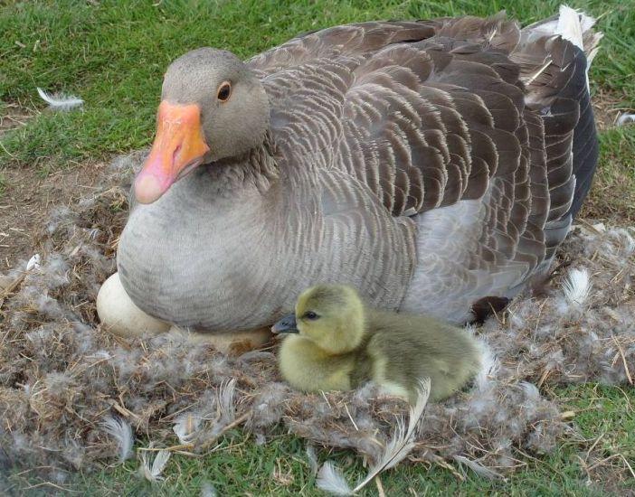 Коли гуси сідають на яйця і скільки днів висиджують, особливості насиджування