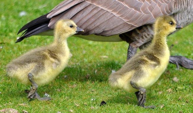 Коли і з якого віку починають нестися гуси, які живуть в домашніх умовах
