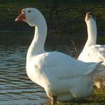 8556 Вирощування і розведення гусей в домашніх умовах: природна і штучна інкубація