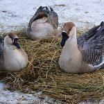 8570 Особливості змісту гусей в домашніх умовах в літній і зимовий періоди