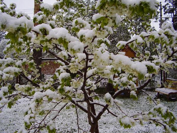 8638 Заморозки в саду: попереджений - значить озброєний