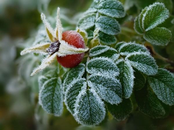Заморозки в саду: попереджений – значить озброєний