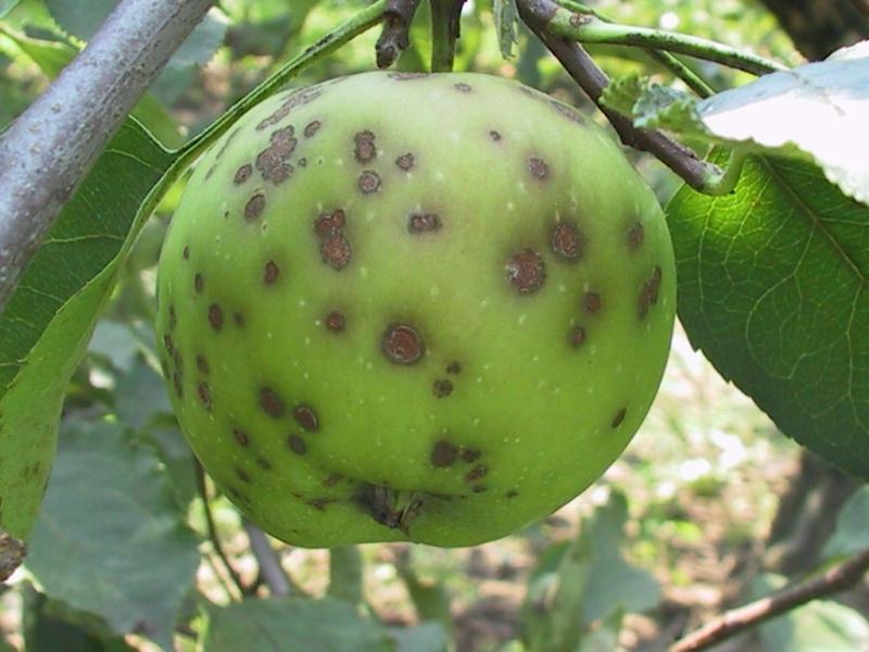 8676 Яблука вкрилися кіркою, або захищаємося від парші з весни