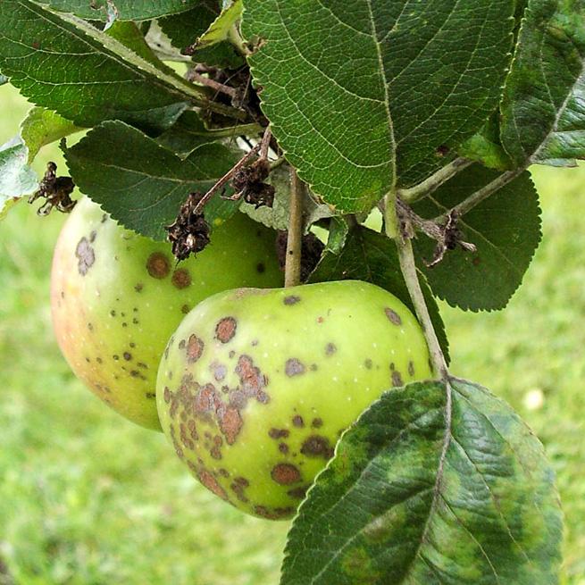 Яблука вкрилися кіркою, або захищаємося від парші з весни