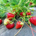 8679 Як правильно посадити полуницю