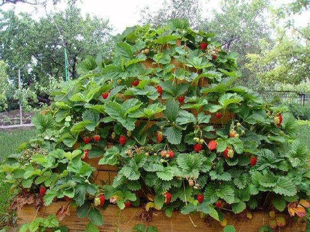Як правильно посадити полуницю